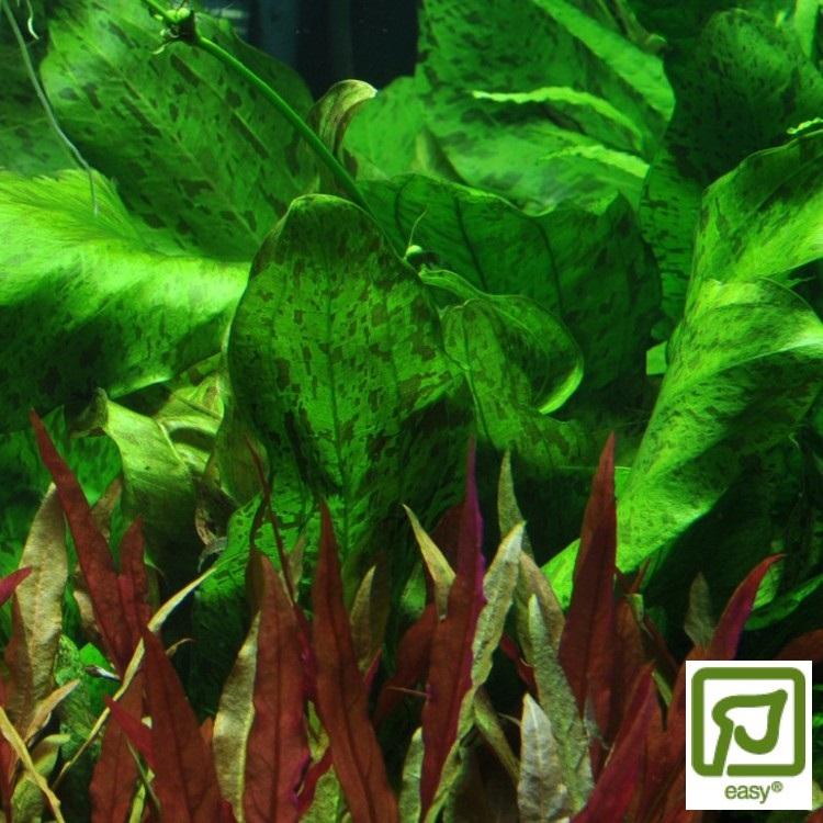 Echinodorus Ozelot Green (Svärdplanta)