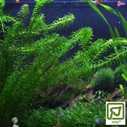 Egeria densa (Vattenpest) (Fem buntar)