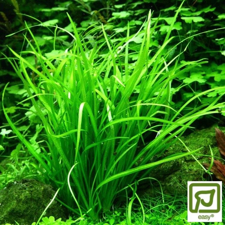 Helanthium tenellum Green