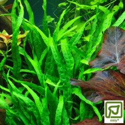 Microsorum pteropus Narrow
