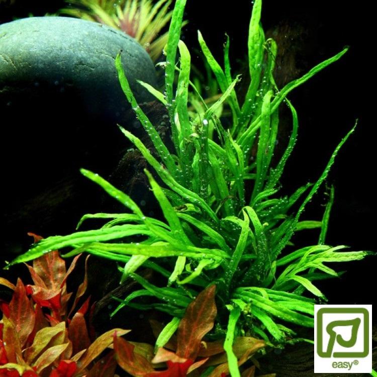 Microsorum pteropus Trident