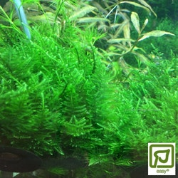 Taxiphyllum alternans Taiwan