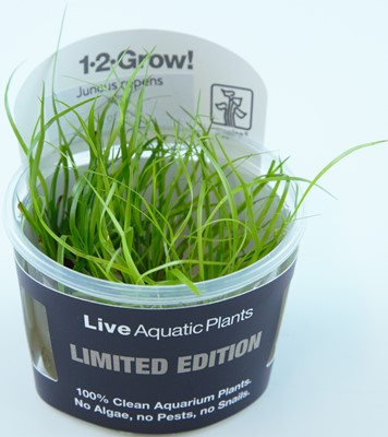 Juncus Repens Limited edition