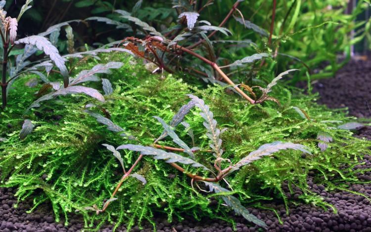 Hygrophila pinnatifida och mossa på träbit