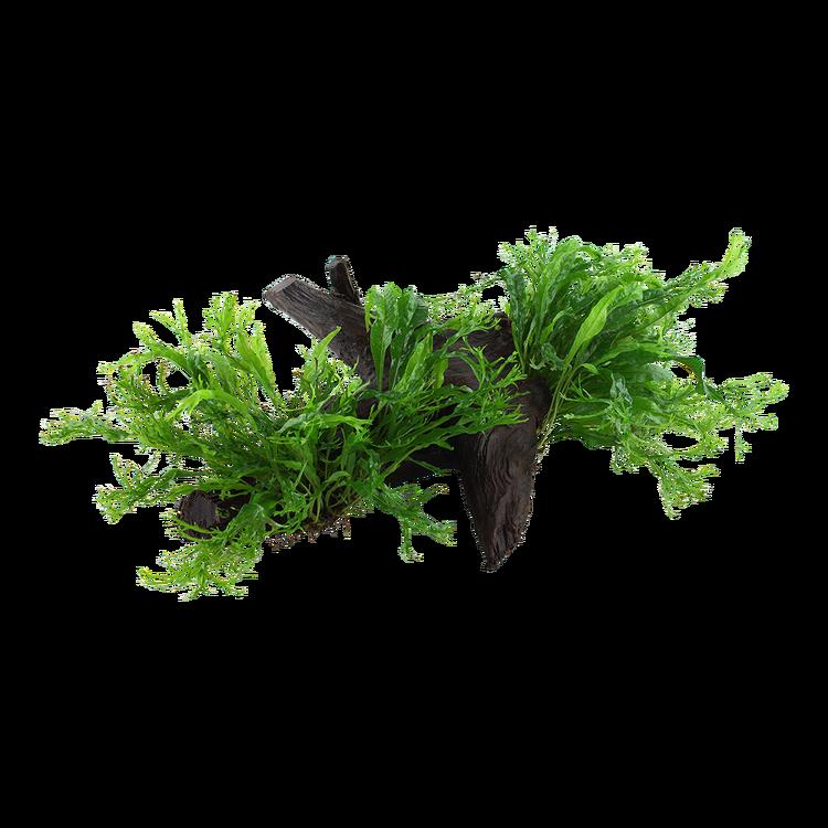 Microsorum pteropus Windeløv XL på träbit