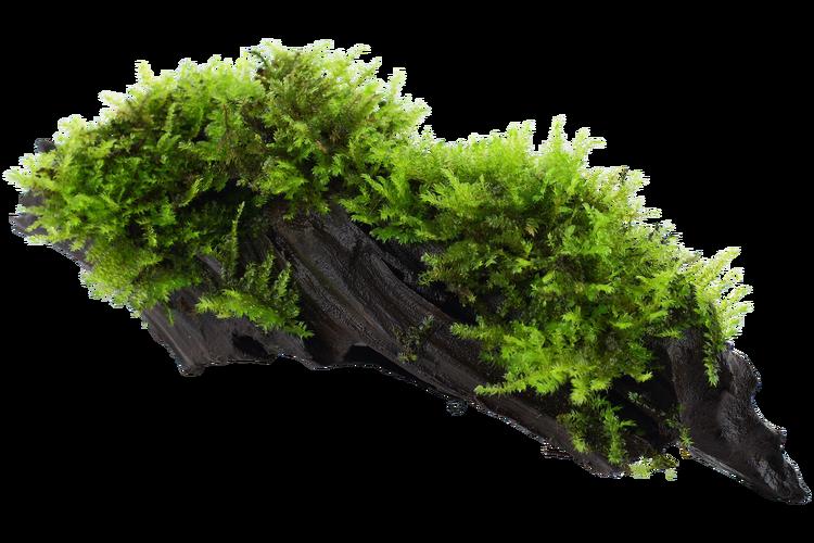 Vesicularia montagnei Christmas på träbit