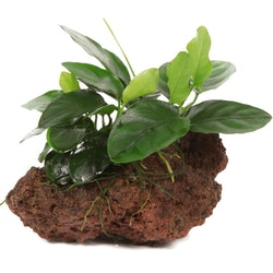 Anubias barteri var. nana på lava sten