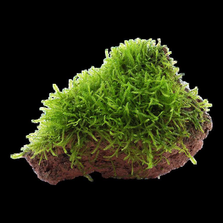 Taxiphyllum barbieri på lava sten