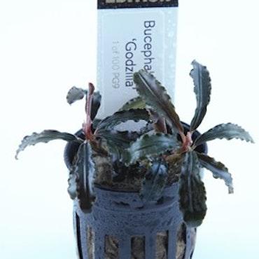 Bucephalandra Kedagang Red Godzilla Limited edition