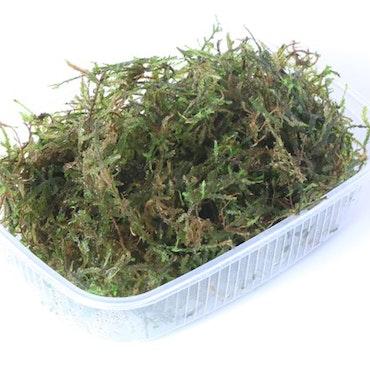 Vesicularia Dubyana Limited edition