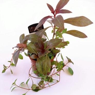 Ludwigia palustris & glandulosa Limited edition