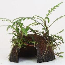 Coconut Cave Hygrophila Pinnatifida Limited edition