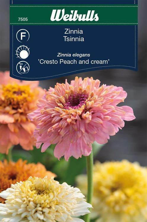 Zinnia - Peach and Cream - Weibulls