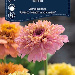 Zinnia - Peach and Cream - Weibulls