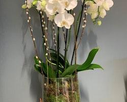 Plantering - Vit orkidé