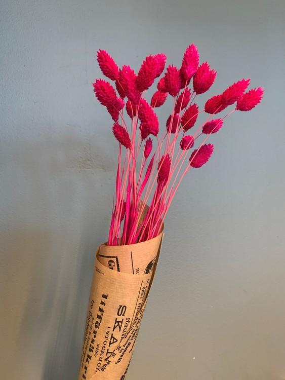 Torkat Phalaris - Cerise rosa