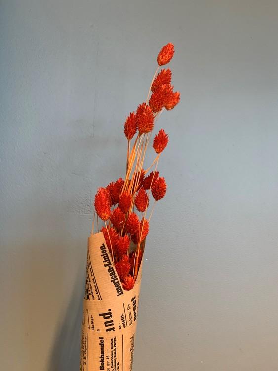 Torkat Phalaris - Mörk orange