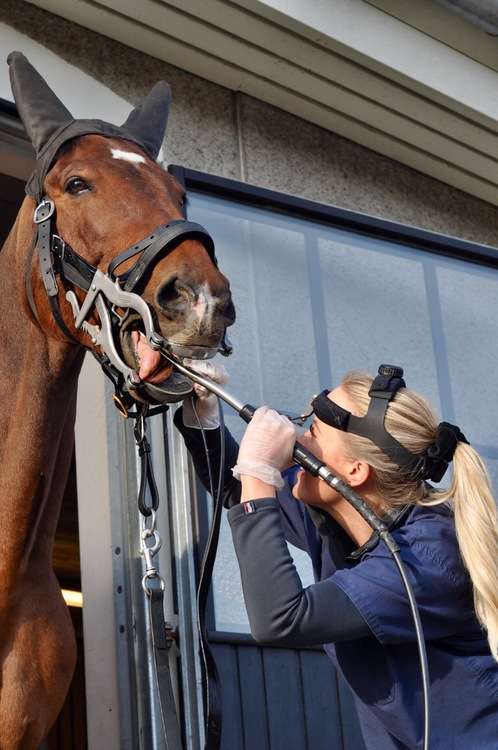 Hästtandvård