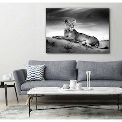 Estancia Tavla Canvas Lioness