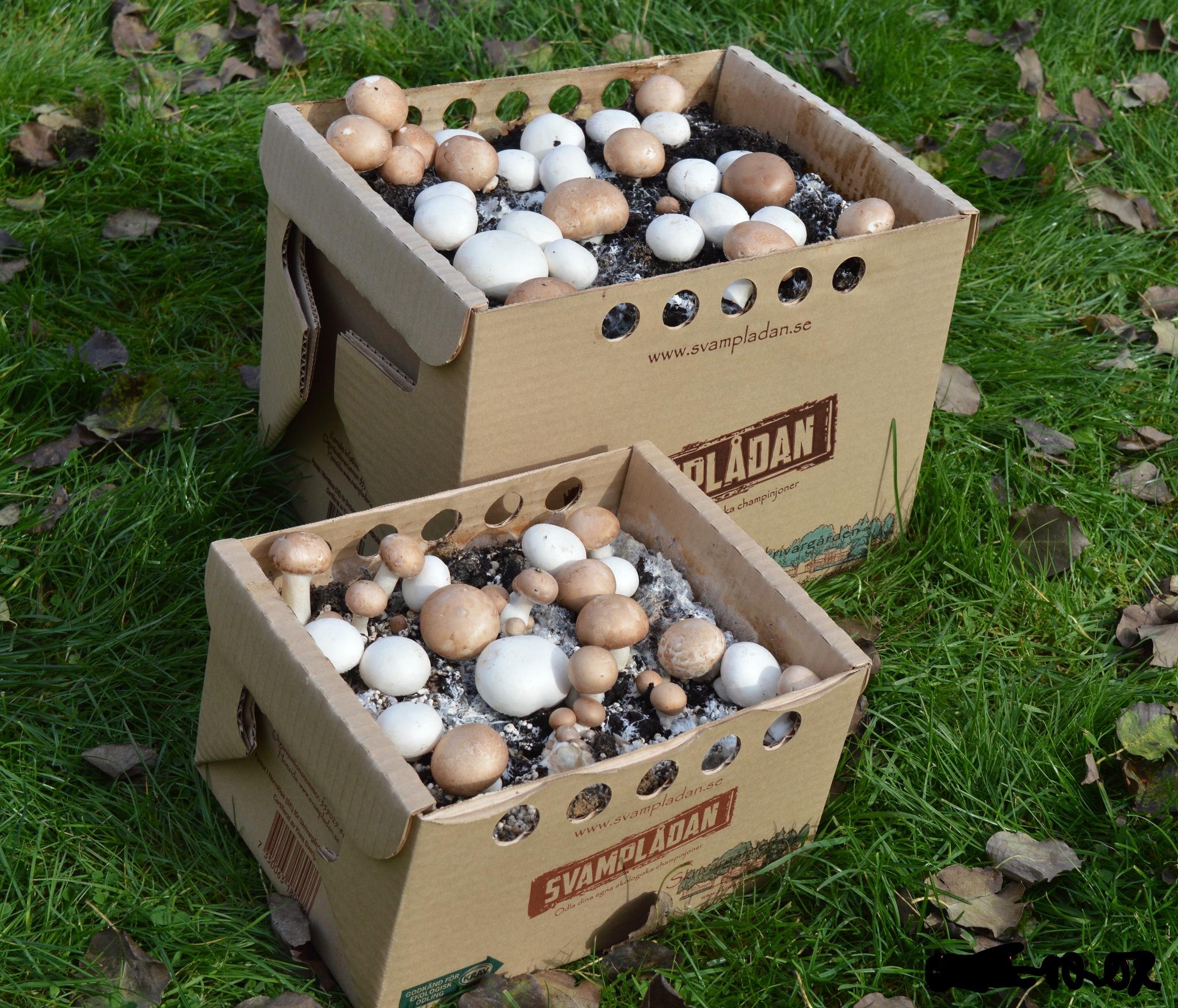 Liten Svamplåda blandat vita och bruna champinjoner