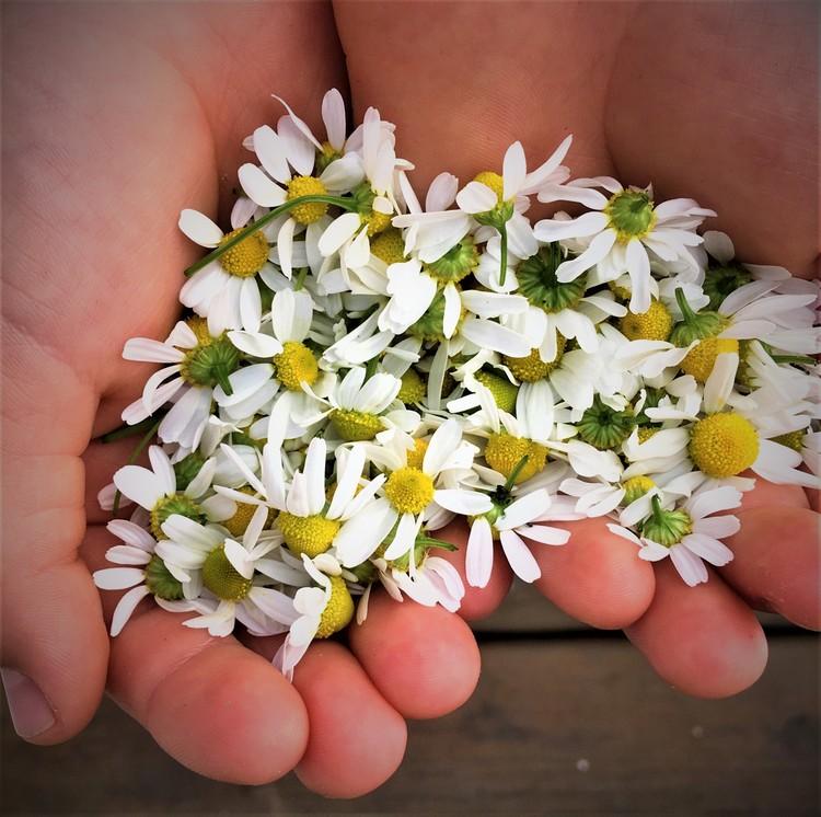 Kamillebalsam for sensitiv hud 35 ml