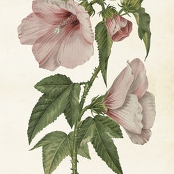 "Poster ""Hibiscus"""