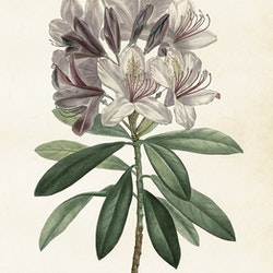 """Poster """"Rhododendron"""""""