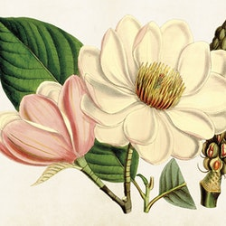 "Poster ""Magnolia"""