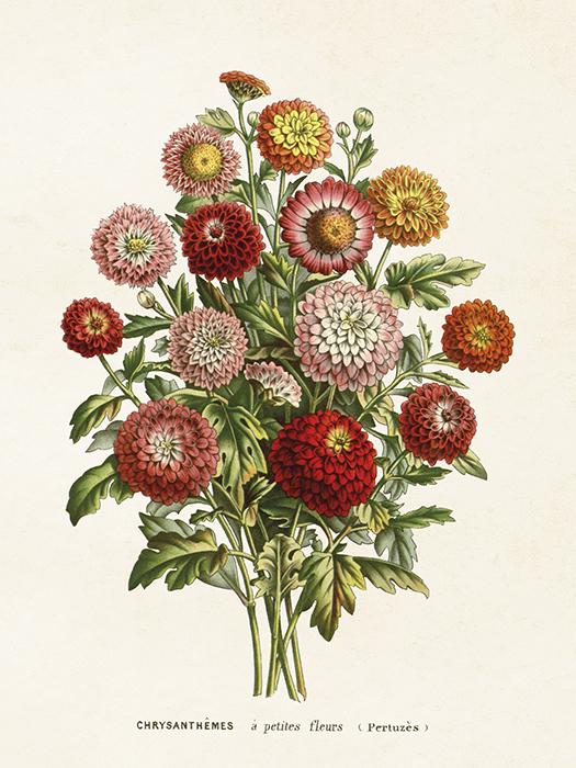 """Poster """"Chrysantemum"""""""