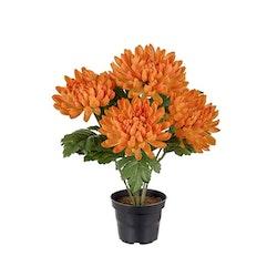 Chrysanthemum, orange