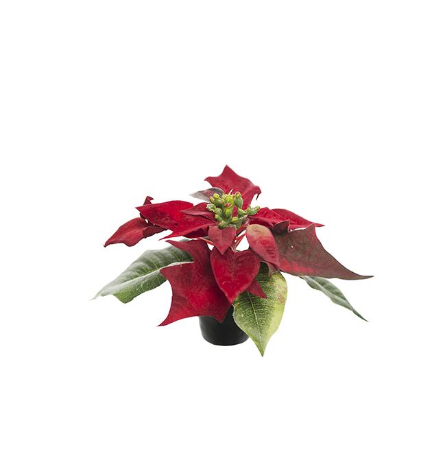 Julstjärna 10 cm