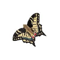 Magnet Makaonfjäril, handsnidat