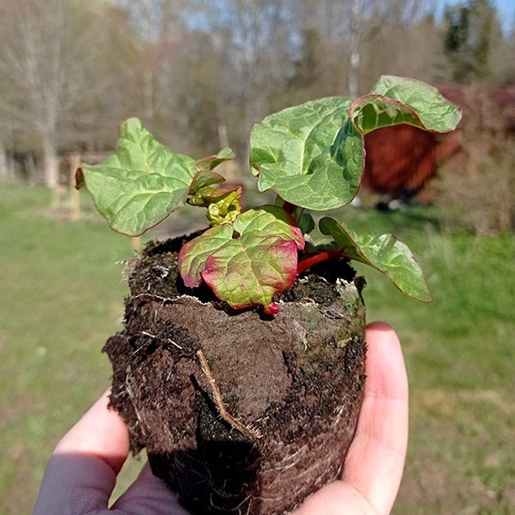 3st Rabarberplanta Berit rabarber