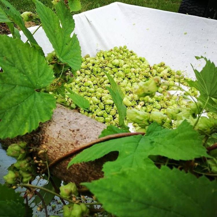 Humle Hulla Norrgård (SWE 4) Humleplanta