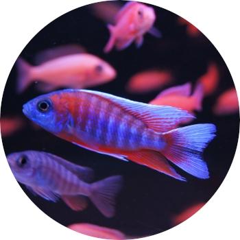 Akvarieimporten i Skåne AB > Akvariefisk till salu
