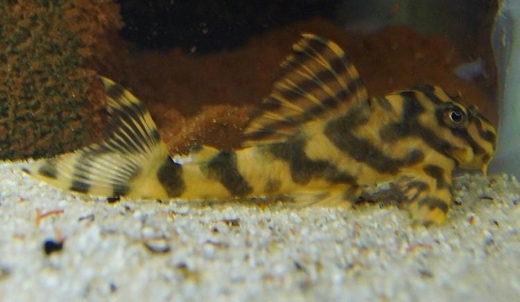 L129 - gul och svart