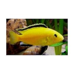 "Labidochromis caeruleus ""Golden"" (Super gula)"