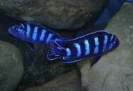 Pseudotropheus Demasoni A