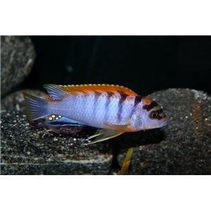 Labidochromis Hongi A