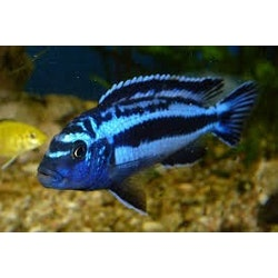 "Melanochromis cyaneorhabdos ""Maingano"""