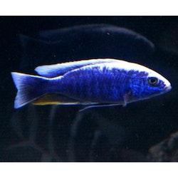 "Sciaenochromis Fryeri ""blå ahli"""