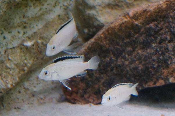 """Labidochromis caeruleus """"nkhata bay"""" A"""