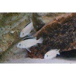 """Labidochromis caeruleus """"nkhata bay"""""""