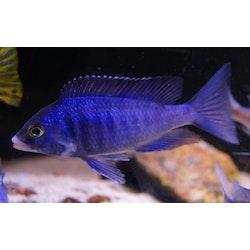 "Placidochromis phenochilus Mdoka ""white lips"""