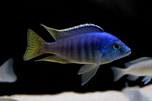Placidochromis jalo reef