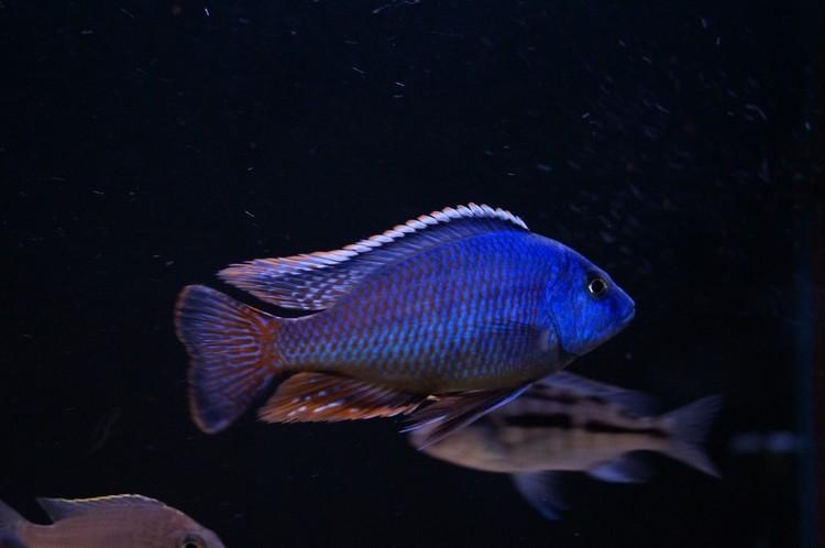 """Protomelas taeniolatus """"fire blue"""" chinyankwazi"""
