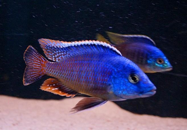 """Protomelas taeniolatus """"fire blue"""" chinyankwazi A"""