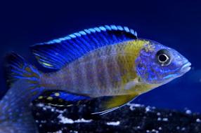 """Aulonocara stuartgranti """"blue neon chiwindi"""""""