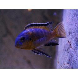 Tropheops makokola reef