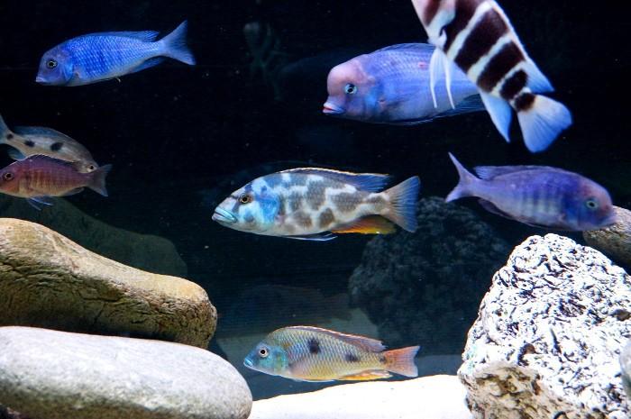 Nimbochromis livingstonii B